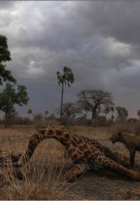 Lion at Giraffe Kill, Ruaha