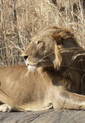 A lion in North Cameroon