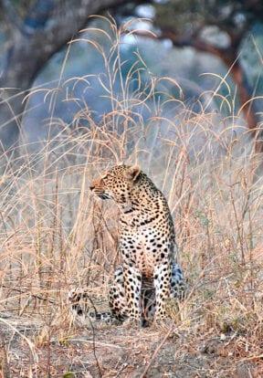 Luangwa Leopard