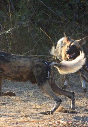 Luangwa Wild Dogs Playing