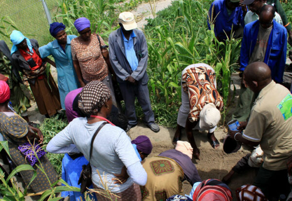 Without planning or deterrents, a community maize plot remains vulnerable to passing browsers