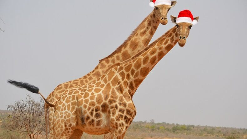 Male and Female West African Giraffe