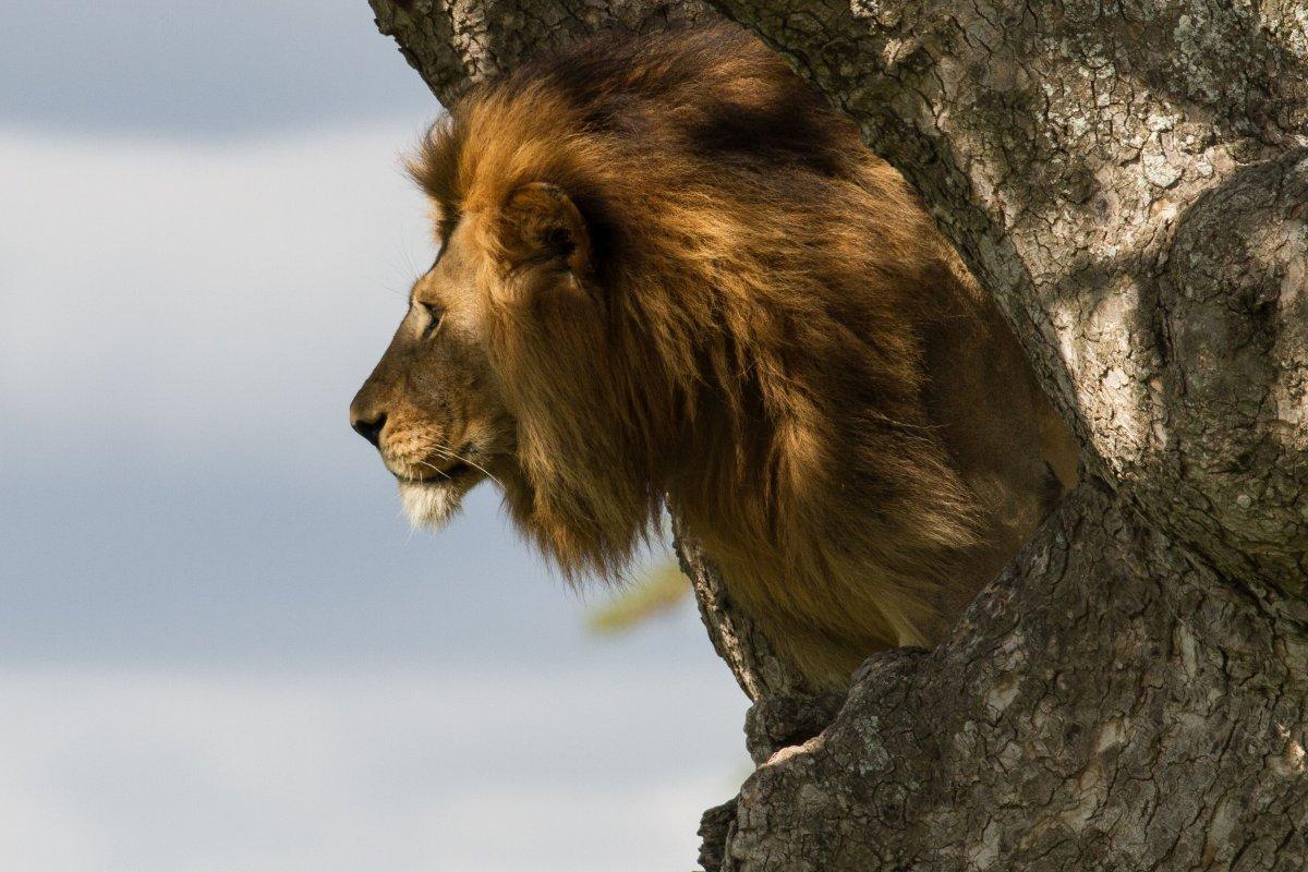 Male lion in tree