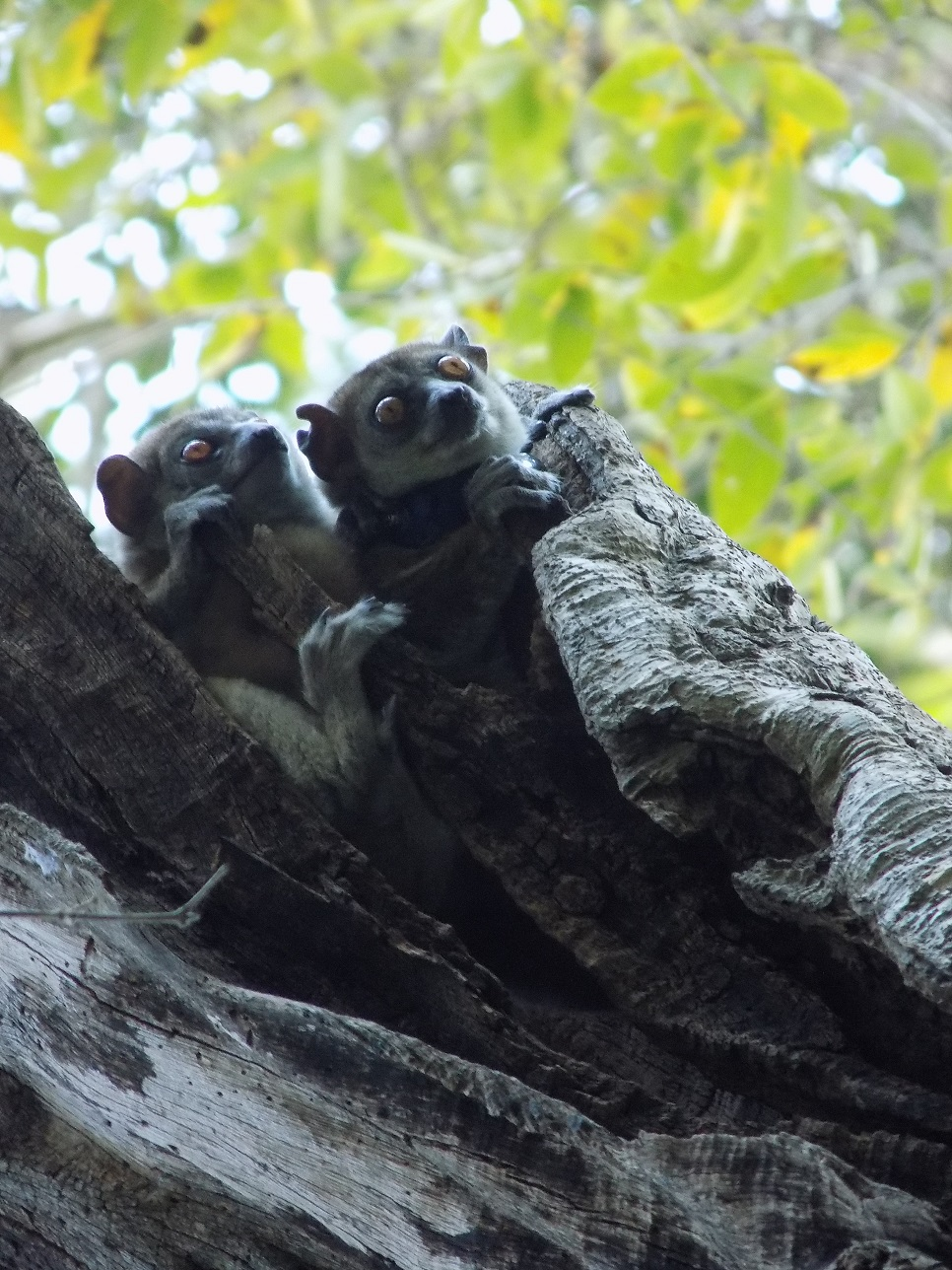 Baby Northern Sportive Lemur and her mother