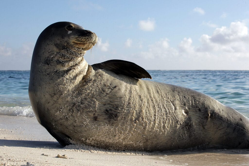 monk seal at french frigate shoals pc mark sullivan