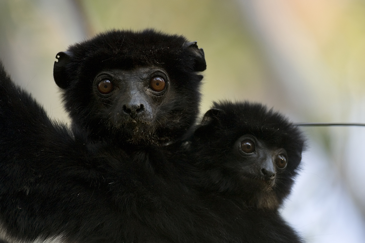 Perrier's Sifaka (Propithecus perrieri) Critically Endangered
