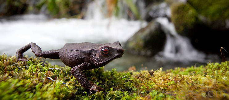 Protecting and restoring key sites for globally threatened amphibians