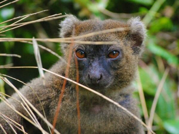 Non-collared Greater Bamboo Lemur