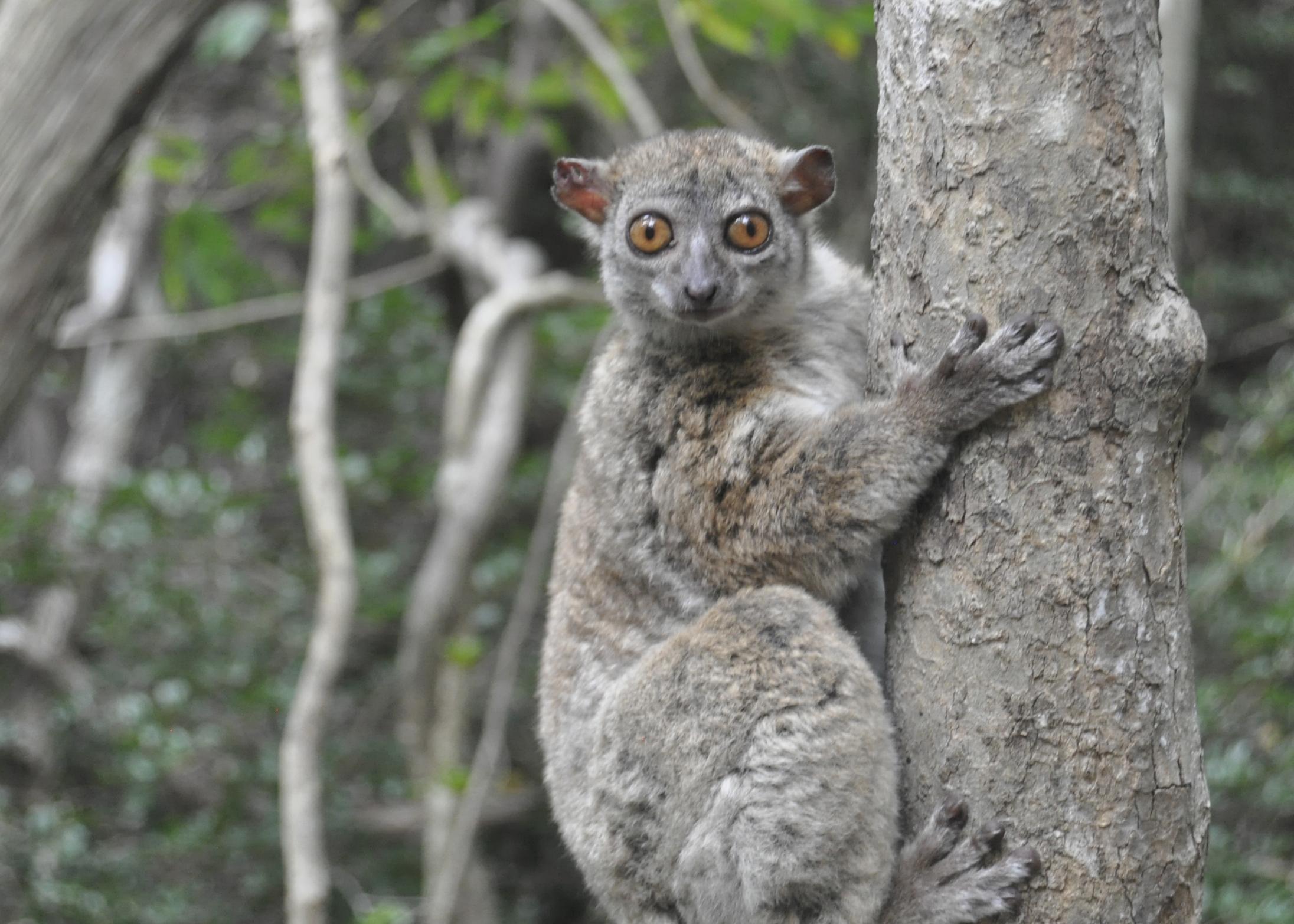 Northern Sportive Lemur in Montagne des Francais