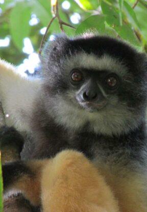 P. Diadema lemur