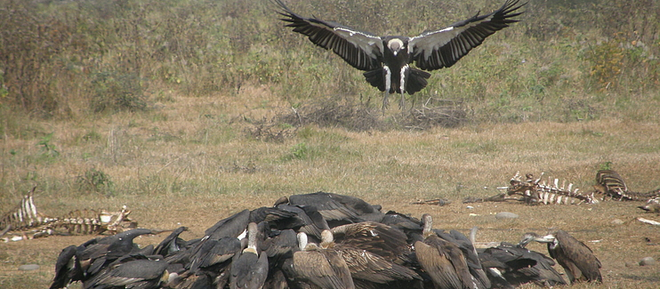 Conserving South Asia's Critically Endangered Vultures