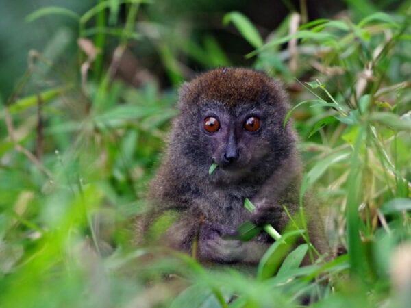 Rusty-gray Lesser Bamboo Lemur eats a leaf