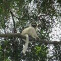 Propithecus Verreauxi on a tree