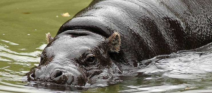 Implementing the first Liberian national action for the Endangered Pygmy Hippo