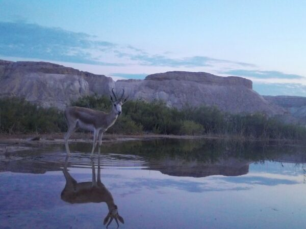 Goitered Gazelle standing in a lake