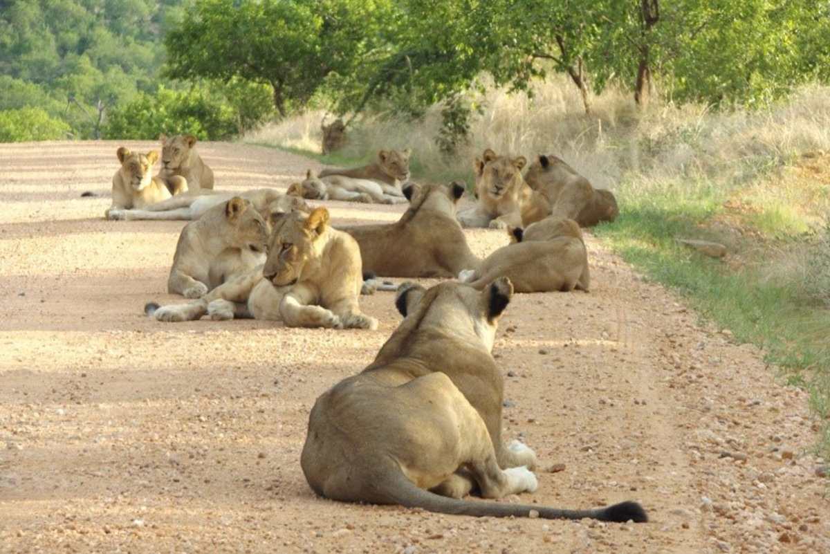 Msembe lion pride