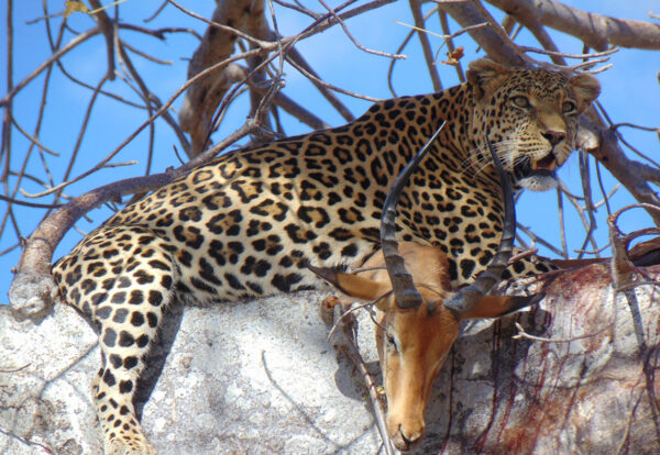 Leopard and kill sighted in a tree