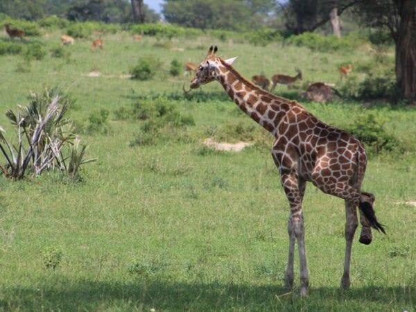 Rescued snared Giraffe