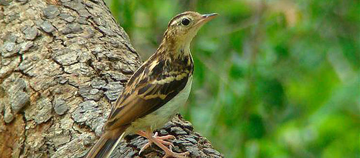 Sokoke pipit perched on a branch