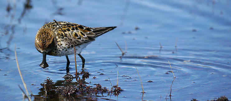 Saving the critically endangered spoon-billed sandpiper from global extinction