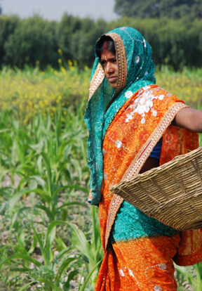 Farmer weeding maize field in Bihar