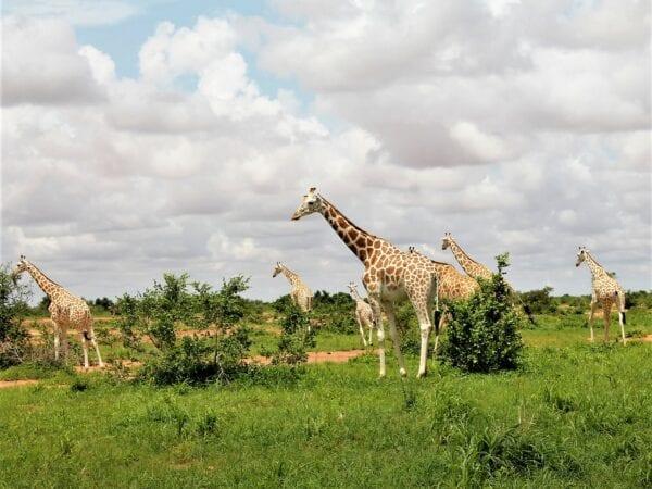 A herd of West African Giraffes