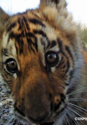 Wide-eyed tiger cub selfie
