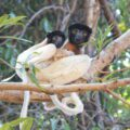 Crowned sifaka lemur mother and baby