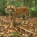 Camera trapped tiger from Rimbang Baling