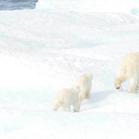 Polar bear and two cubs on ice floe