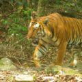 Camera trapped tiger