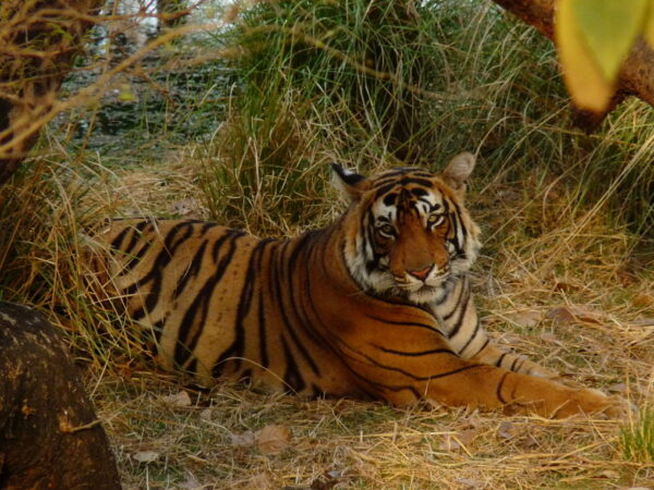 Tiger laying down on the grass
