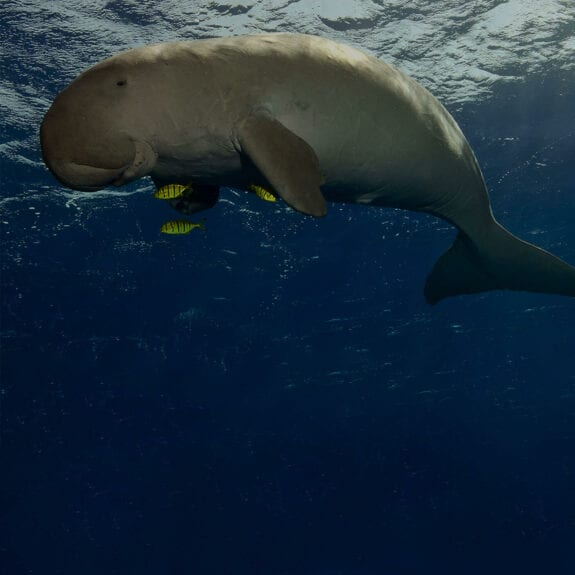 Dugong swimming in the ocean
