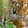 Tiger looking at the camera