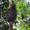 Lemur looking down from a tree in Madagascar