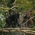 5 year old female Bonobo moving off after feeding on fruit