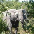 African Savanna Elephant in the wild