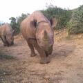 Two Black rhinos walking on road in thicket vegetation