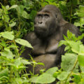 Gorilla enjoying nature