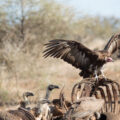 Hooded Vulture and White-backed Vultures feeding on a carcass