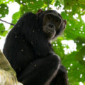 Chimpanzee sitting on a tree branch